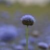 Kalninė austėja - Jasione montana | Fotografijos autorius : Agnė Našlėnienė | © Macrogamta.lt | Šis tinklapis priklauso bendruomenei kuri domisi makro fotografija ir fotografuoja gyvąjį makro pasaulį.
