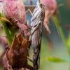 Keliaujantysis plačiasparnis ugniukas - Nomophila noctuella   Fotografijos autorius : Oskaras Venckus   © Macrogamta.lt   Šis tinklapis priklauso bendruomenei kuri domisi makro fotografija ir fotografuoja gyvąjį makro pasaulį.