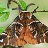 Keršasparnis verpikas - Endromis versicolora ♂ | Fotografijos autorius : Gintautas Steiblys | © Macrogamta.lt | Šis tinklapis priklauso bendruomenei kuri domisi makro fotografija ir fotografuoja gyvąjį makro pasaulį.