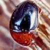 Kerpvabalis - Agathidium nigripenne   Fotografijos autorius : Romas Ferenca   © Macrogamta.lt   Šis tinklapis priklauso bendruomenei kuri domisi makro fotografija ir fotografuoja gyvąjį makro pasaulį.