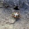 Kiaušiniškasis irklažygis - Omophron limbatum   Fotografijos autorius : Vitalii Alekseev   © Macrogamta.lt   Šis tinklapis priklauso bendruomenei kuri domisi makro fotografija ir fotografuoja gyvąjį makro pasaulį.