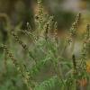 Kietinė ambrozija - Ambrosia artemisiifolia | Fotografijos autorius : Kęstutis Obelevičius | © Macrogamta.lt | Šis tinklapis priklauso bendruomenei kuri domisi makro fotografija ir fotografuoja gyvąjį makro pasaulį.