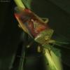 Krūminė skydblakė - Elasmostethus interstinctus | Fotografijos autorius : Ramunė Vakarė | © Macrogamta.lt | Šis tinklapis priklauso bendruomenei kuri domisi makro fotografija ir fotografuoja gyvąjį makro pasaulį.