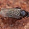 Kupramusė - Megaselia sp. | Fotografijos autorius : Žilvinas Pūtys | © Macrogamta.lt | Šis tinklapis priklauso bendruomenei kuri domisi makro fotografija ir fotografuoja gyvąjį makro pasaulį.