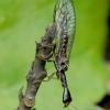 Storaūsis kupriukas - Inocellia crassicornis | Fotografijos autorius : Romas Ferenca | © Macrogamta.lt | Šis tinklapis priklauso bendruomenei kuri domisi makro fotografija ir fotografuoja gyvąjį makro pasaulį.