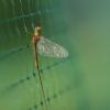 Lašalas - Ephemeroptera   Fotografijos autorius : Agnė Našlėnienė   © Macrogamta.lt   Šis tinklapis priklauso bendruomenei kuri domisi makro fotografija ir fotografuoja gyvąjį makro pasaulį.