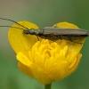 Laibavabalis - Oedemera virescens ♀ | Fotografijos autorius : Žilvinas Pūtys | © Macrogamta.lt | Šis tinklapis priklauso bendruomenei kuri domisi makro fotografija ir fotografuoja gyvąjį makro pasaulį.