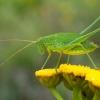 Lakštasparnis pjūklius - Phaneroptera falcata, nimfa ? | Fotografijos autorius : Oskaras Venckus | © Macrogamta.lt | Šis tinklapis priklauso bendruomenei kuri domisi makro fotografija ir fotografuoja gyvąjį makro pasaulį.