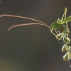 Lakštasparnis pjūklius - Phaneroptera falcata | Fotografijos autorius : Agnė Našlėnienė | © Macrogamta.lt | Šis tinklapis priklauso bendruomenei kuri domisi makro fotografija ir fotografuoja gyvąjį makro pasaulį.
