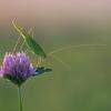 Lakštasparnis pjūklius - Phaneroptera falcata | Fotografijos autorius : Zita Gasiūnaitė | © Macrogamta.lt | Šis tinklapis priklauso bendruomenei kuri domisi makro fotografija ir fotografuoja gyvąjį makro pasaulį.