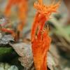 Lipnusis tampriagrybis - Calocera viscosa   Fotografijos autorius : Gintautas Steiblys   © Macrogamta.lt   Šis tinklapis priklauso bendruomenei kuri domisi makro fotografija ir fotografuoja gyvąjį makro pasaulį.