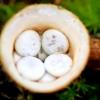 Lygusis tigliagrybis - Crucibulum laeve | Fotografijos autorius : Ramunė Vakarė | © Macrogamta.lt | Šis tinklapis priklauso bendruomenei kuri domisi makro fotografija ir fotografuoja gyvąjį makro pasaulį.