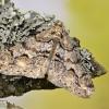 Mažasis ankstyvasis sprindžius - Agriopis leucophaearia ♂ | Fotografijos autorius : Kazimieras Martinaitis | © Macrogamta.lt | Šis tinklapis priklauso bendruomenei kuri domisi makro fotografija ir fotografuoja gyvąjį makro pasaulį.