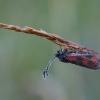 Mažasis marguolis - Zygaena viciae | Fotografijos autorius : Žilvinas Pūtys | © Macrogamta.lt | Šis tinklapis priklauso bendruomenei kuri domisi makro fotografija ir fotografuoja gyvąjį makro pasaulį.
