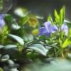 Mažoji žiemė - Vinca minor   Fotografijos autorius : Vidas Brazauskas   © Macrogamta.lt   Šis tinklapis priklauso bendruomenei kuri domisi makro fotografija ir fotografuoja gyvąjį makro pasaulį.