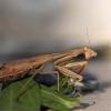Ryškiasparnis maldininkas - Iris oratoria | Fotografijos autorius : Vaida Paznekaitė | © Macrogamta.lt | Šis tinklapis priklauso bendruomenei kuri domisi makro fotografija ir fotografuoja gyvąjį makro pasaulį.