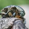Marmurinis auksavabalis – Protaetia marmorata | Fotografijos autorius : Agnė Našlėnienė | © Macrogamta.lt | Šis tinklapis priklauso bendruomenei kuri domisi makro fotografija ir fotografuoja gyvąjį makro pasaulį.