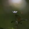 Miškinė septynikė - Lysimachia europaea | Fotografijos autorius : Agnė Našlėnienė | © Macrogamta.lt | Šis tinklapis priklauso bendruomenei kuri domisi makro fotografija ir fotografuoja gyvąjį makro pasaulį.