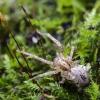 Miškinis gležnavoris - Anyphaena accentuata | Fotografijos autorius : Kazimieras Martinaitis | © Macrogamta.lt | Šis tinklapis priklauso bendruomenei kuri domisi makro fotografija ir fotografuoja gyvąjį makro pasaulį.
