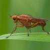 Musė - Suillia affinis   Fotografijos autorius : Žilvinas Pūtys   © Macrogamta.lt   Šis tinklapis priklauso bendruomenei kuri domisi makro fotografija ir fotografuoja gyvąjį makro pasaulį.