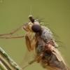 Smailiasparnė muselė - Lonchoptera sp. | Fotografijos autorius : Vidas Brazauskas | © Macrogamta.lt | Šis tinklapis priklauso bendruomenei kuri domisi makro fotografija ir fotografuoja gyvąjį makro pasaulį.