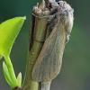 Nendrinis medgręžis - Phragmataecia castaneae | Fotografijos autorius : Gintautas Steiblys | © Macrogamta.lt | Šis tinklapis priklauso bendruomenei kuri domisi makro fotografija ir fotografuoja gyvąjį makro pasaulį.