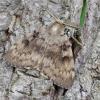 Neporinis verpikas - Lymantria dispar ♂ | Fotografijos autorius : Romas Ferenca | © Macrogamta.lt | Šis tinklapis priklauso bendruomenei kuri domisi makro fotografija ir fotografuoja gyvąjį makro pasaulį.