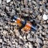 Trumpasparnis - Oxyporus rufus rufus (Linnaeus, 1758) | Fotografijos autorius : Vitalii Alekseev | © Macrogamta.lt | Šis tinklapis priklauso bendruomenei kuri domisi makro fotografija ir fotografuoja gyvąjį makro pasaulį.