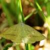 Papartinis sprindžius - Petrophora chlorasata | Fotografijos autorius : Ramunė Vakarė | © Macrogamta.lt | Šis tinklapis priklauso bendruomenei kuri domisi makro fotografija ir fotografuoja gyvąjį makro pasaulį.