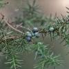 Paprastasis kadagys - Juniperus communis | Fotografijos autorius : Kęstutis Obelevičius | © Macrogamta.lt | Šis tinklapis priklauso bendruomenei kuri domisi makro fotografija ir fotografuoja gyvąjį makro pasaulį.