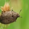 Paprastasis kamuolvabalis - Byrrhus pilula | Fotografijos autorius : Vidas Brazauskas | © Macrogamta.lt | Šis tinklapis priklauso bendruomenei kuri domisi makro fotografija ir fotografuoja gyvąjį makro pasaulį.