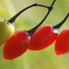 Paprastasis karklavijas - Solanum dulcamara | Fotografijos autorius : Gintautas Steiblys | © Macrogamta.lt | Šis tinklapis priklauso bendruomenei kuri domisi makro fotografija ir fotografuoja gyvąjį makro pasaulį.