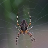 Paprastasis kryžiuotis (Araneus diadematus) | Fotografijos autorius : Elmaras Duderis | © Macrogamta.lt | Šis tinklapis priklauso bendruomenei kuri domisi makro fotografija ir fotografuoja gyvąjį makro pasaulį.