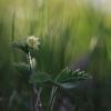 Paprastoji žemuogė - Fragaria vesca | Fotografijos autorius : Agnė Našlėnienė | © Macrogamta.lt | Šis tinklapis priklauso bendruomenei kuri domisi makro fotografija ir fotografuoja gyvąjį makro pasaulį.