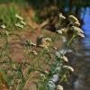 Paprastoji kraujažolė - Achillea millefolium | Fotografijos autorius : Kęstutis Obelevičius | © Macrogamta.lt | Šis tinklapis priklauso bendruomenei kuri domisi makro fotografija ir fotografuoja gyvąjį makro pasaulį.
