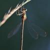 Paprastoji strėliukė - Lestes sponsa | Fotografijos autorius : Agnė Našlėnienė | © Macrogamta.lt | Šis tinklapis priklauso bendruomenei kuri domisi makro fotografija ir fotografuoja gyvąjį makro pasaulį.