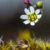 Pavasarinė ankstyvė   Spring draba   Draba verna   Fotografijos autorius : Darius Baužys   © Macrogamta.lt   Šis tinklapis priklauso bendruomenei kuri domisi makro fotografija ir fotografuoja gyvąjį makro pasaulį.