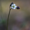 Pavasarinis kežys - Spergula morisonii   Fotografijos autorius : Agnė Našlėnienė   © Macrogamta.lt   Šis tinklapis priklauso bendruomenei kuri domisi makro fotografija ir fotografuoja gyvąjį makro pasaulį.