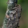 Ąžuolinis kuoduotis - Peridea anceps | Fotografijos autorius : Gintautas Steiblys | © Macrogamta.lt | Šis tinklapis priklauso bendruomenei kuri domisi makro fotografija ir fotografuoja gyvąjį makro pasaulį.