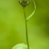 Pelkinė kreisvė - Crepis paludosa | Fotografijos autorius : Žilvinas Pūtys | © Macrogamta.lt | Šis tinklapis priklauso bendruomenei kuri domisi makro fotografija ir fotografuoja gyvąjį makro pasaulį.