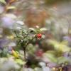Peržiemojusi bruknė - Vaccinium vitis-idaea | Fotografijos autorius : Vidas Brazauskas | © Macrogamta.lt | Šis tinklapis priklauso bendruomenei kuri domisi makro fotografija ir fotografuoja gyvąjį makro pasaulį.
