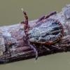 Pievinė erkė   Dermacentor reticulatus   Fotografijos autorius : Darius Baužys   © Macrogamta.lt   Šis tinklapis priklauso bendruomenei kuri domisi makro fotografija ir fotografuoja gyvąjį makro pasaulį.