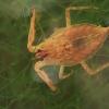 Pilkoji skorpionblakė - Nepa cinerea, nimfa   Fotografijos autorius : Gintautas Steiblys   © Macrogamta.lt   Šis tinklapis priklauso bendruomenei kuri domisi makro fotografija ir fotografuoja gyvąjį makro pasaulį.