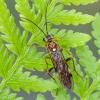 Pjūklelis   Tenthredopsis sordida   Fotografijos autorius : Darius Baužys   © Macrogamta.lt   Šis tinklapis priklauso bendruomenei kuri domisi makro fotografija ir fotografuoja gyvąjį makro pasaulį.