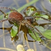 Plėšriavoris - Piratula hygrophila | Fotografijos autorius : Gintautas Steiblys | © Macrogamta.lt | Šis tinklapis priklauso bendruomenei kuri domisi makro fotografija ir fotografuoja gyvąjį makro pasaulį.