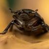 Platusis elniavabalis - Dorcus parallelipipedus | Fotografijos autorius : Eugenijus Kavaliauskas | © Macrogamta.lt | Šis tinklapis priklauso bendruomenei kuri domisi makro fotografija ir fotografuoja gyvąjį makro pasaulį.
