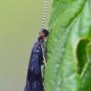 Plonaūsė apsiuva - Mystacides nigra  | Fotografijos autorius : Arūnas Eismantas | © Macrogamta.lt | Šis tinklapis priklauso bendruomenei kuri domisi makro fotografija ir fotografuoja gyvąjį makro pasaulį.