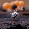 Polycephalomyces tomentosus ant Trichia decipiens   Fotografijos autorius : Eglė Vičiuvienė   © Macrogamta.lt   Šis tinklapis priklauso bendruomenei kuri domisi makro fotografija ir fotografuoja gyvąjį makro pasaulį.