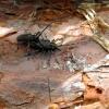 Pušinis ožiaragis - Monochamus galloprovincialis | Fotografijos autorius : Vitalii Alekseev | © Macrogamta.lt | Šis tinklapis priklauso bendruomenei kuri domisi makro fotografija ir fotografuoja gyvąjį makro pasaulį.
