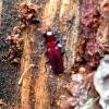 Pušinis plokščiavabalis - Cucujus haematodes | Fotografijos autorius : Giedrius Švitra | © Macrogamta.lt | Šis tinklapis priklauso bendruomenei kuri domisi makro fotografija ir fotografuoja gyvąjį makro pasaulį.